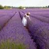 Lavender essential oil for Alzheimer's-dementia